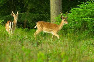 Wild Fallow Deer, New Forest, Hampshire