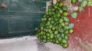 See that green mangoes fallen by a heavy storm
