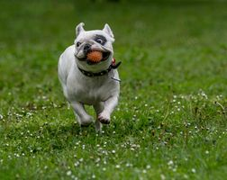 French bulldog with ball playing on green grass