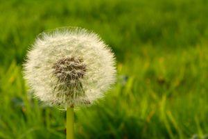 A dandelion (Taraxacum) seed head