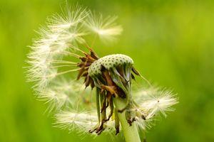 A dandelion (Taraxacum) seed head with missing