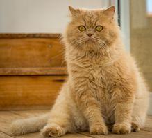 Yellow eyed cat