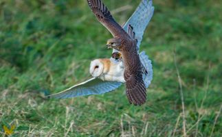 Female barn owl &Kestrel