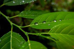 Rain water drops isolated on custard apple leaves