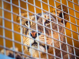 Lion-Animal-Feline-Wildlife