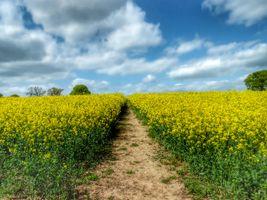 Oilseed in bloom, Warwickshire, UK