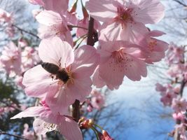 Cherry blossom & bee pollinating