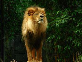 Lion-lion-king-animal-wildlife