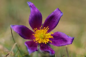 Purple Pasque Flowers