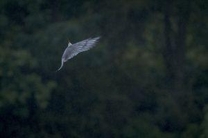 Common Tern(Sterna hirundo) - In heavy rain shower