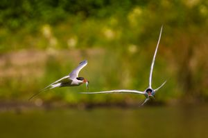 Common Terns(Sterna hirundo) - In flight with Fish