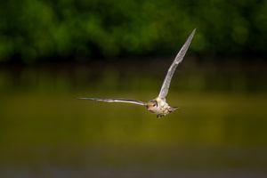 Common Tern(Sterna hirundo) - Juvenile in Flight