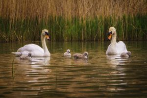 Mute Swan(Cygnus olor) - Family Outing