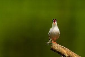 Common Tern(Sterna hirundo) with Beak Wide Open