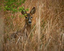 Female Roe Deer in the Grass