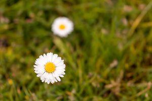 Common daisy flower