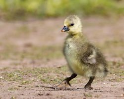 Gosling walking