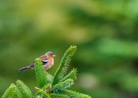 Male chaffinch on pine tree