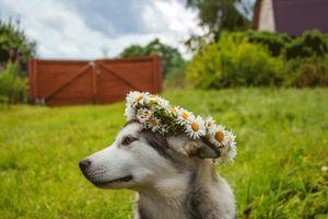 Birthday Girl Dog