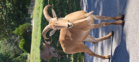 Mountain goat at Wildlife safari in Strafford Mo 20210915_123210