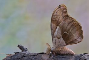 Polyphemus Moth - (Antheraea polyphemus)