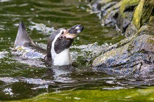 Penguin Swmmming
