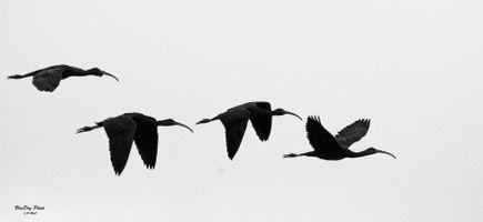 Glossy ibis 02-24 2019