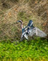 Little blue heron 04-13 2019
