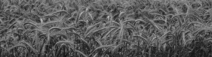 Panorama of the barley field in black and white
