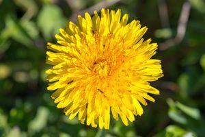 Dandelion flower and ants