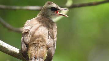 Female bulbul bird