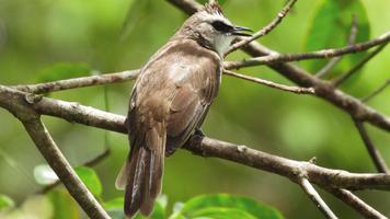 Male bulbul bird