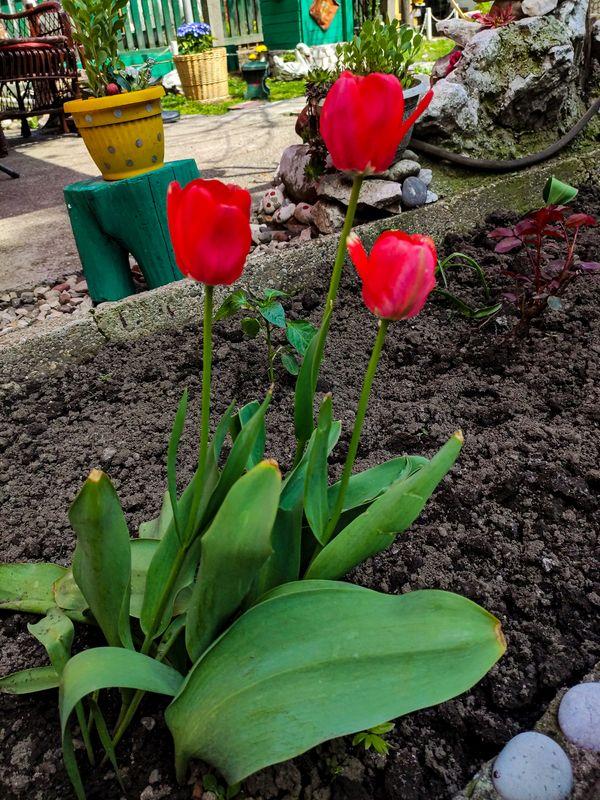 Crveni Tulipani - Red Tulips