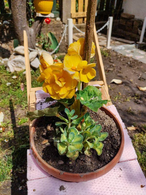 Žute ruže - Yellow Roses