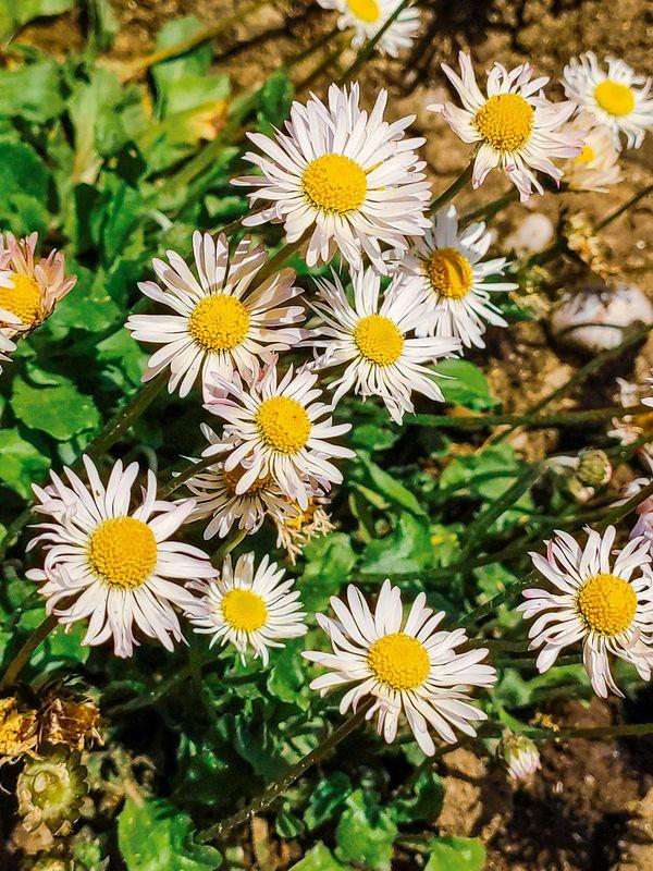 Tratincica (Common daisy)