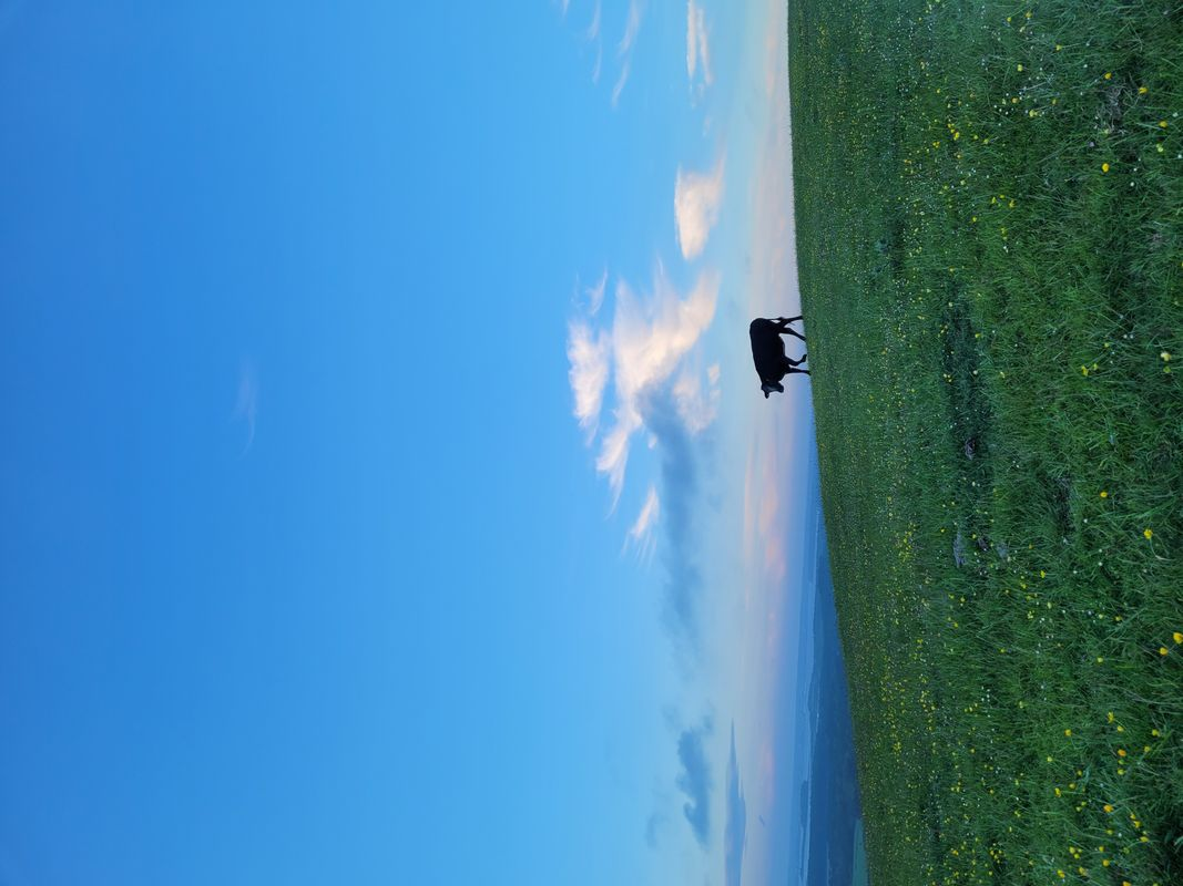 Corfe Cows