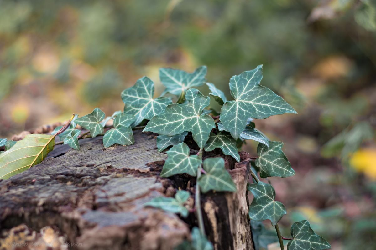 Common Ivy on a tree trunk