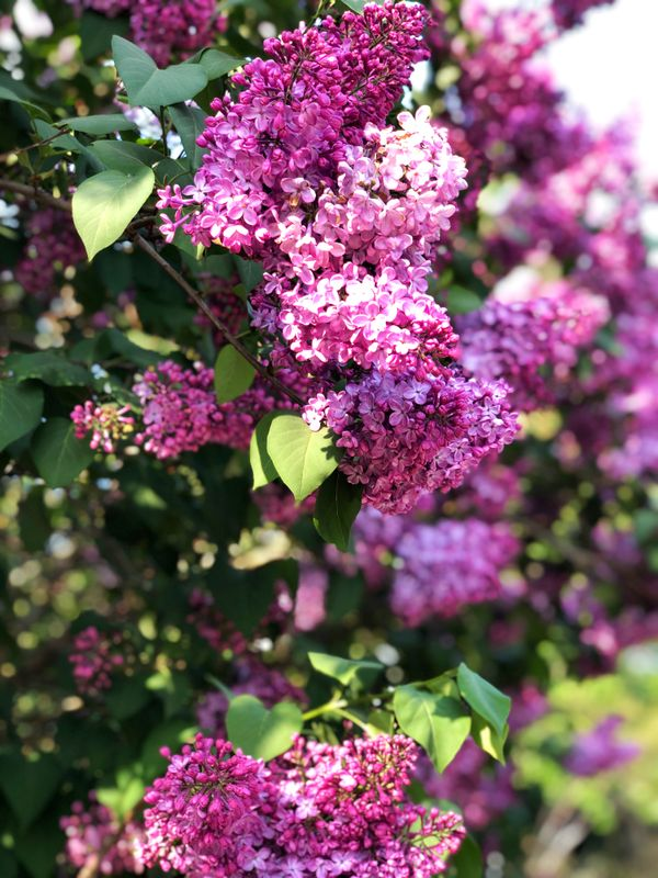 Blossoming Lilac tree