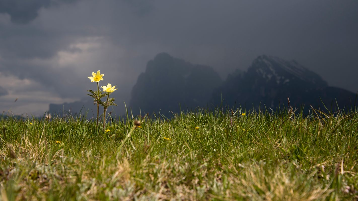 Shining flower at the Seiser Alm