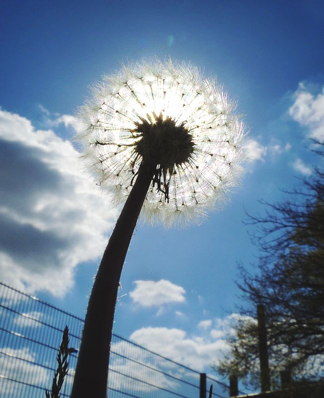 Dandelion photographed from below in front of a sun under a clear blue sky in spring