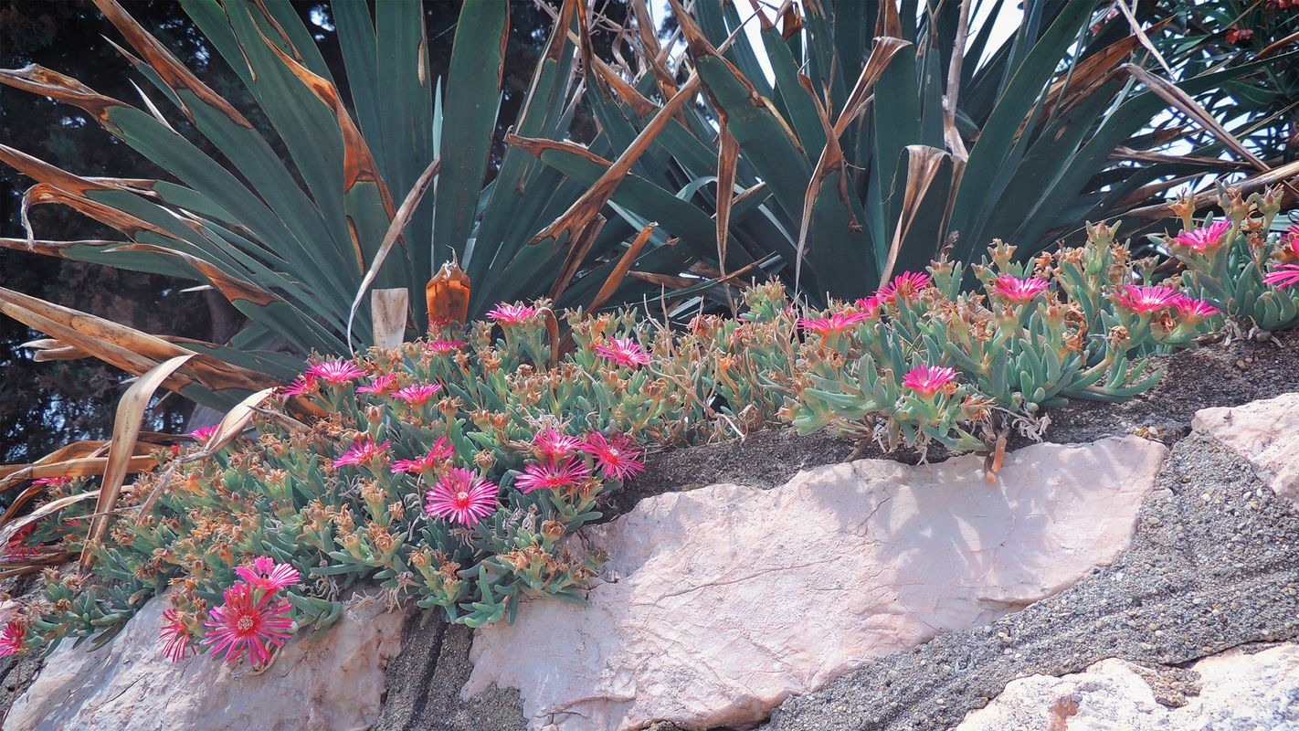 Tender pink blossoms growing on a stone wall in front of a type of cactus with large leaves