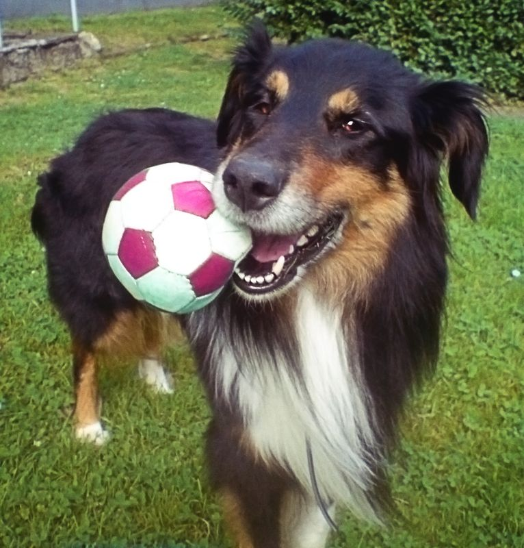 This beautiful dog with a ball in his mouth was my tri-coloured playful collie shepherd mix