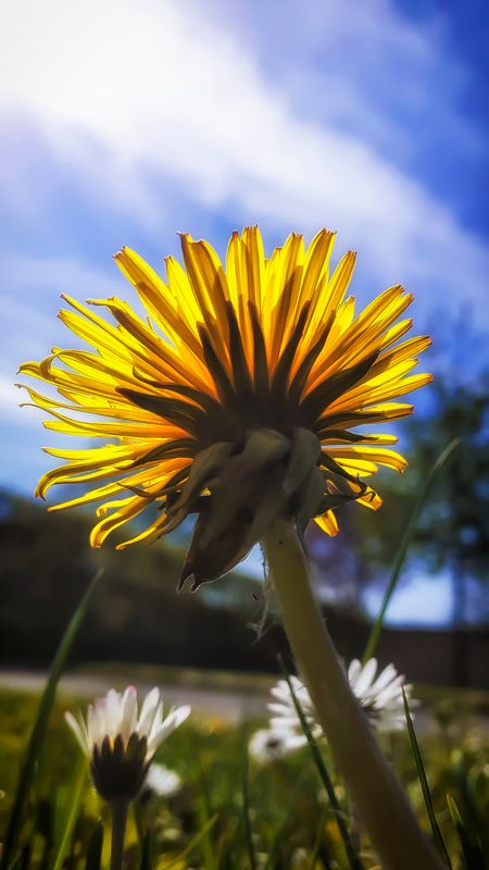 Yellow sunflower photographed from behind and below against the sun and a blue sky