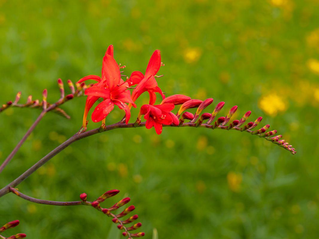 Crocosmia flower spike