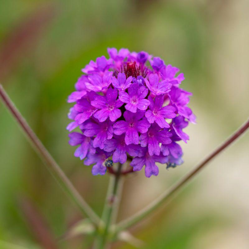 Verbena 'Santos Purple'