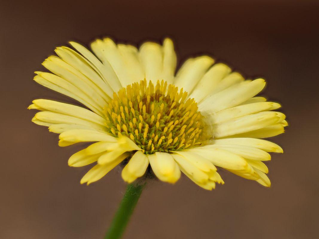 Yellow fleabane