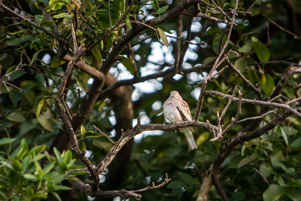 Drowsy Dove