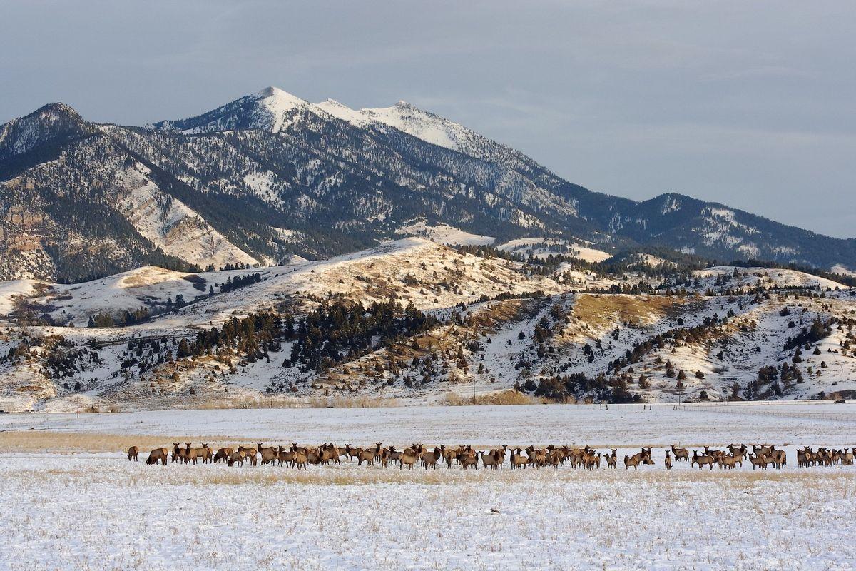 Bridger Mtn Elk