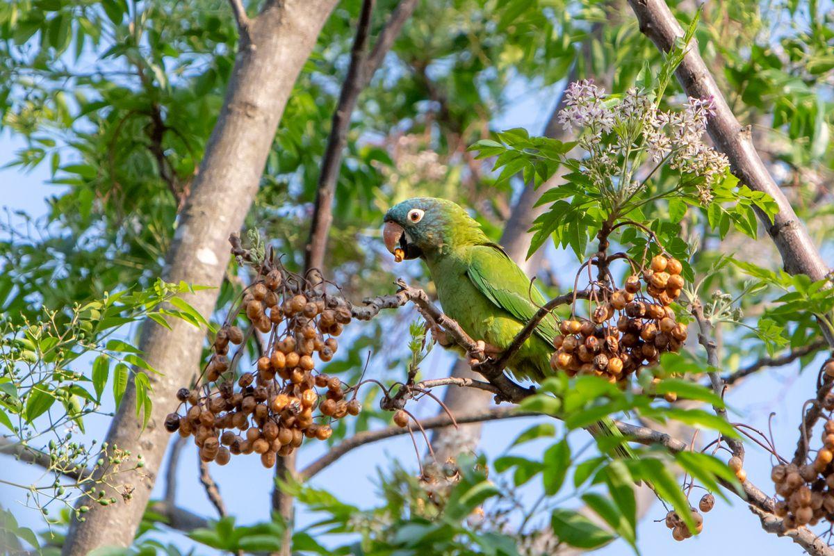 Blue-crowned parakeet