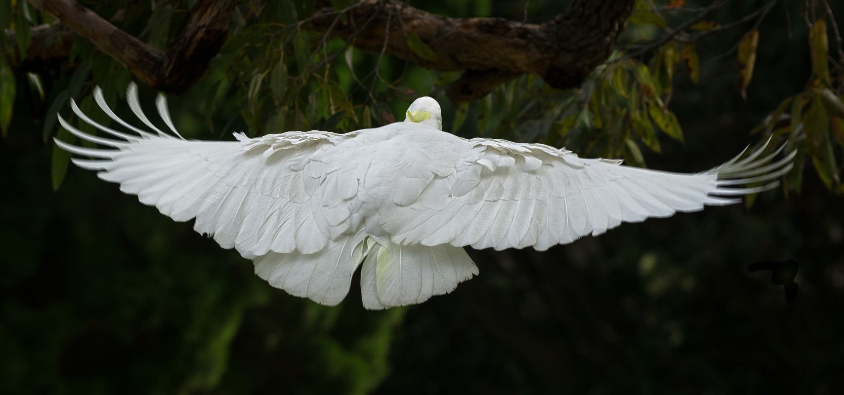 Sulphur-crested cockatoo about to land